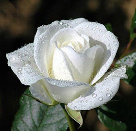 A Spotless Rose